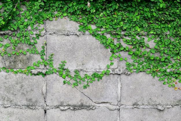 La beauté et la nature des lianes sur le mur.