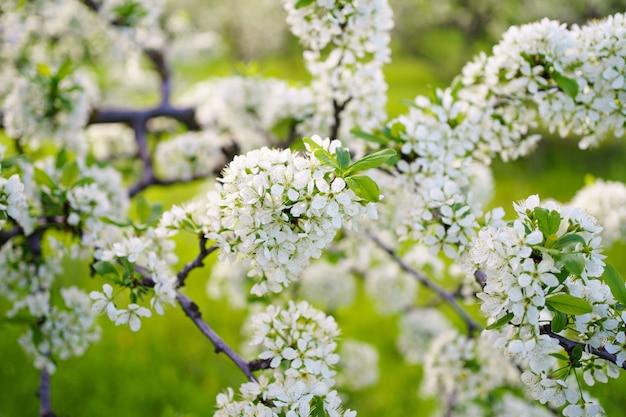 La beauté de la nature printanière. branches d'arbres en fleurs. le jardinage et l'agriculture. aromathérapie et méditation. paysage.