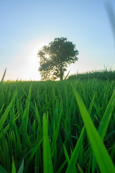 La beauté des rizières avec leurs propres arbres et riz vert
