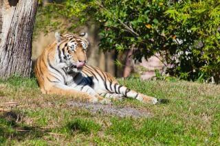 Beauté tigre