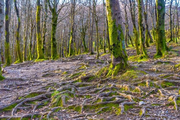 Beaux arbres sur la montée de la montagne d'aiako harria ou peñas de aya, guipúzcoa