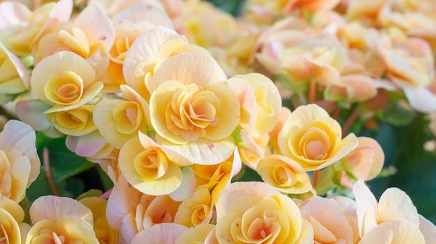 Beaux bégonias jaunes dans le jardin