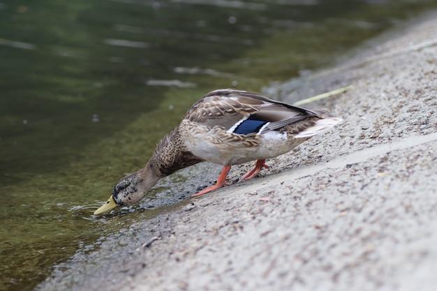De beaux canards se reposent au bord de l'étang sous le chaud soleil