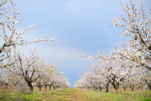 Beaux cerisiers en fleurs dans le pré