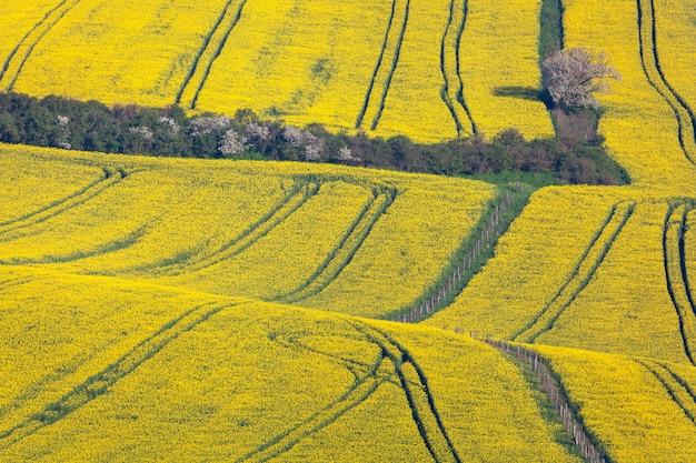 Beaux champs de colza jaune