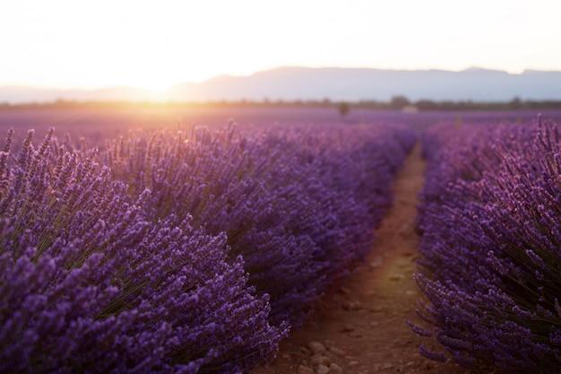 Beaux champs frigides au coucher du soleil. valensole, provence, france