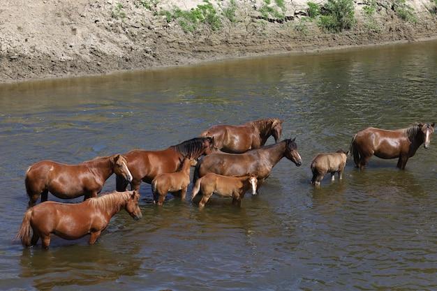 Beaux chevaux bruns se tiennent dans la rivière dans la chaleur de l'été