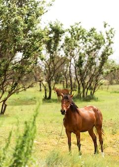 Beaux chevaux bruns sur terrain