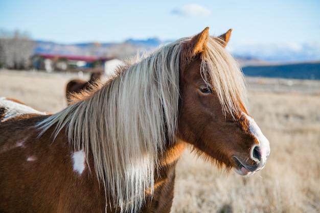 Beaux chevaux mignons et petits en islande.