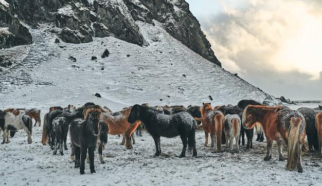 Beaux chevaux paissant sur des pâturages enneigés près des montagnes.