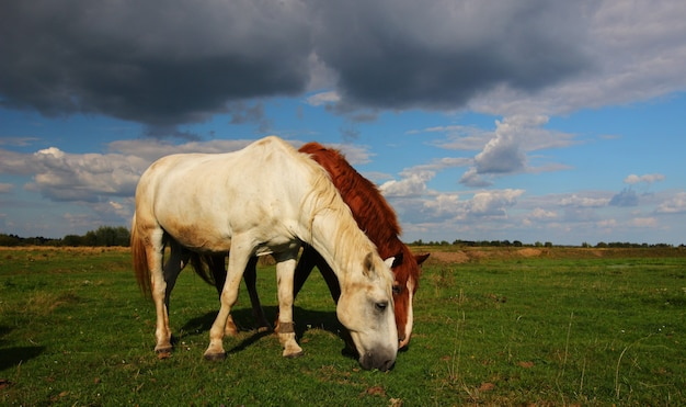 De beaux chevaux paissent sur le paysage d'été de l'herbe