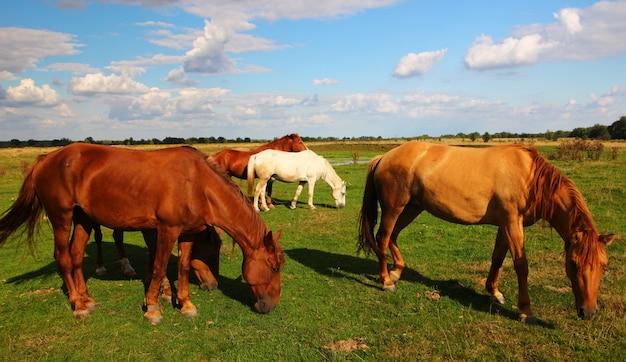 De beaux chevaux ruraux paissent en été