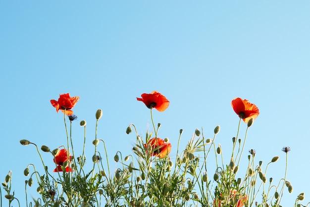 Beaux coquelicots rouges avec fond de ciel bleu