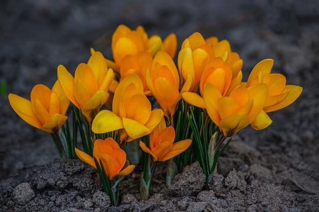 De beaux crocus jaunes se bouchent