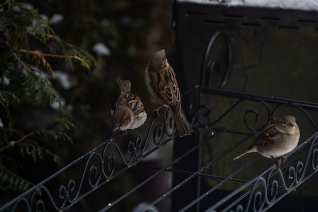 Beaux moineaux assis sur une balustrade en métal parmi les arbres couverts de neige