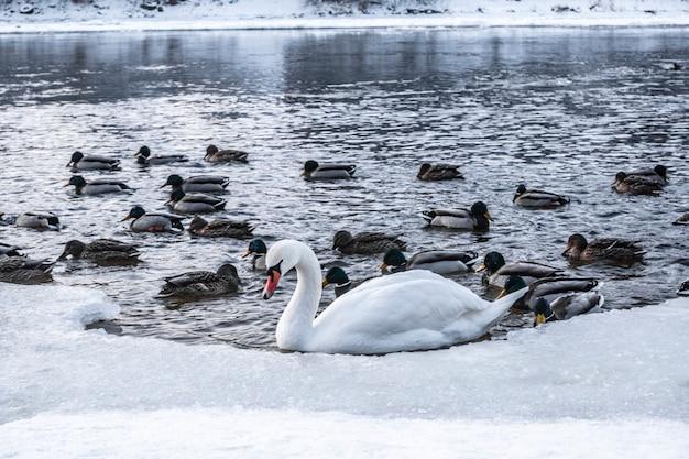 De beaux oiseaux flottant sur l'eau. de grandes quantités de canards et un cygne. un concept pour 'the odd one out'. un cygne et des canards dans une rivière gelée, se battant pour de la nourriture. lac gelé.