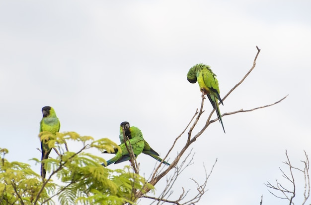 Beaux oiseaux perruche nanday dans un arbre dans le pantanal brésilien