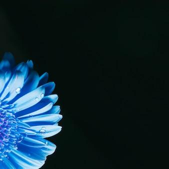 Beaux pétales de fleurs bleu vif en rosée