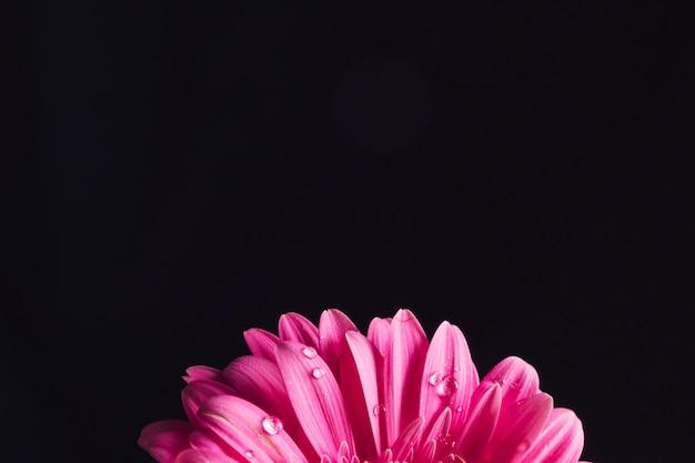 Beaux pétales de fleurs rose vif en rosée