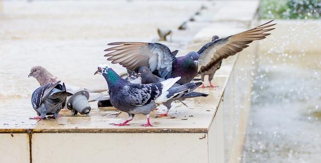 Beaux pigeons près de l'eau de la fontaine par temps ensoleillé