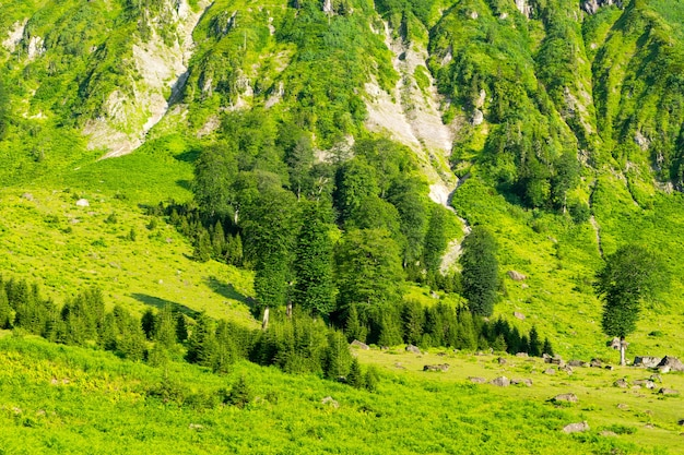Beaux pins sur fond de hautes montagnes. artvin, turquie