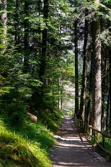 Beaux pins sur les montagnes