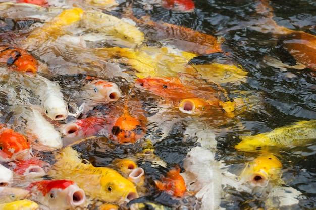 De beaux poissons carpes ou carpes koi nagent dans l'étang
