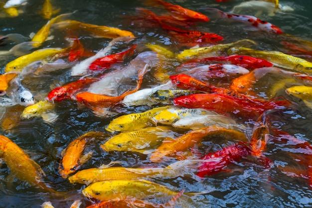 Beaux poissons koi colorés nageant dans l'étang