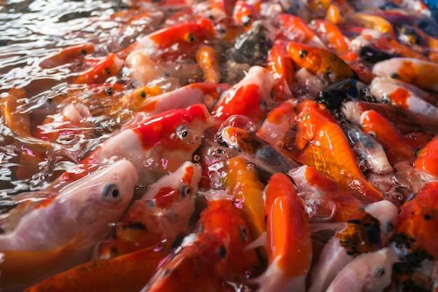 Beaux poissons koi nageant dans l'étang