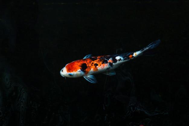 Les beaux poissons koi nageant dans une piscine sombre, les poissons fantaisie carpes ou les koi nageant dans un étang dans le jardin
