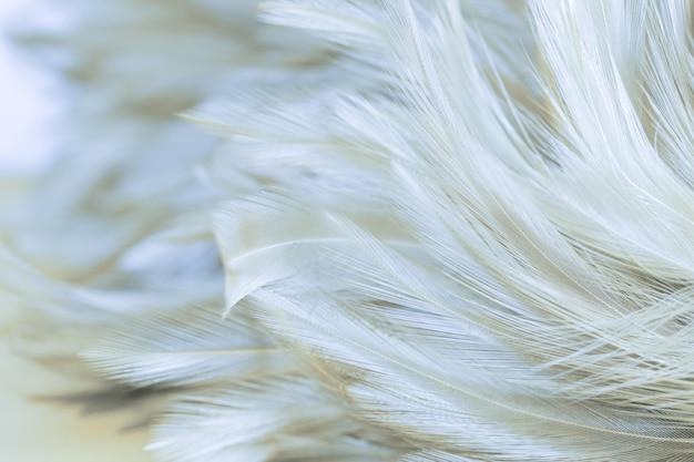Beaux poulets plume texture abstrait, flou