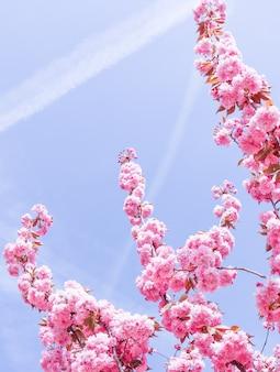 Beaux sakura ou cerisiers à fleurs roses au printemps contre le ciel bleu