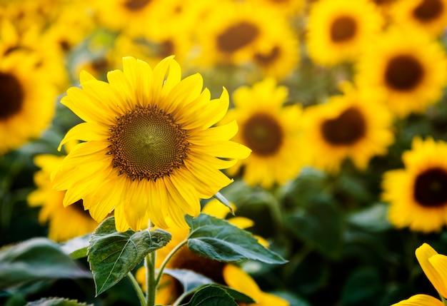 De beaux tournesols en fleurs sur le terrain