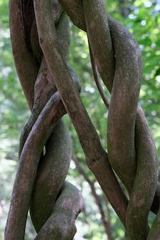 Beaux troncs ressemblant à des lianes tressés les uns aux autres close-up
