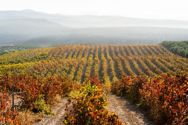 Beaux Vignobles à La Campagne Photo Premium
