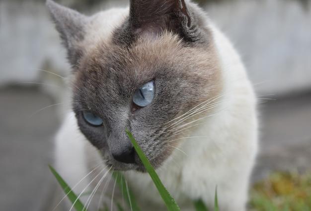 Beaux yeux bleu pâle sur un chat crème et gris.