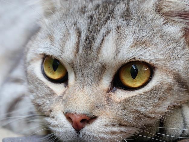 Beaux yeux jaunes de chat tigré, gros plan