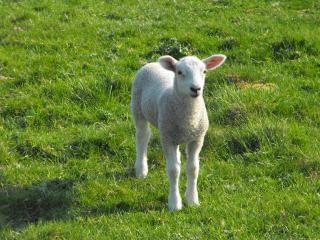 Bébé agneau de lait