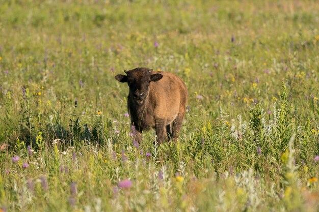 Bébé bison debout dans un champ, lake audy campground, parc national du mont-riding, manitoba, canad