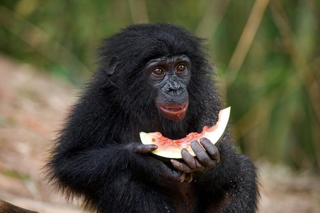 Bébé de bonobo mange de la pastèque. république démocratique du congo. parc national de lola ya bonobo.