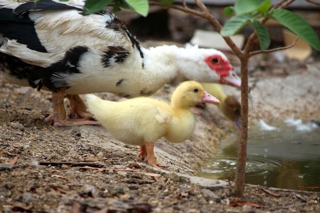 Bébé canard heureux dans le style de la campagne