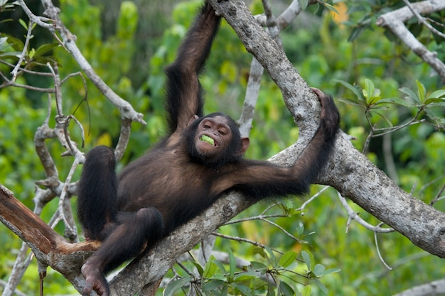 Bébé chimpanzé sur les arbres de mangrove