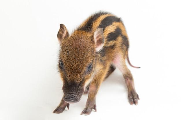 Le bébé cochon bagué (sus scrofa vittatus) également connu sous le nom de sanglier indonésien