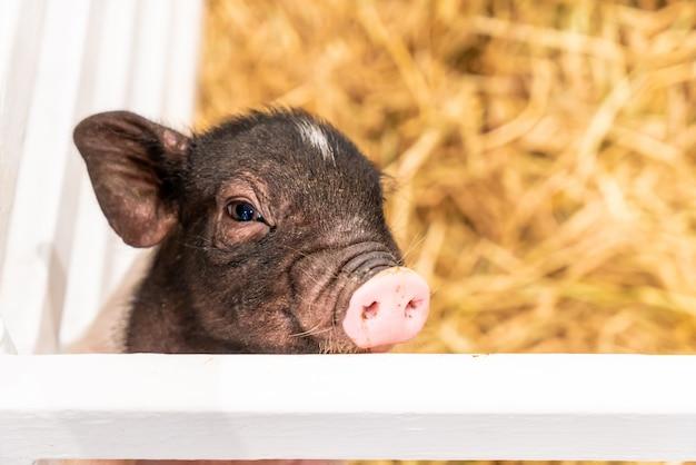 Bébé cochon dans ferme