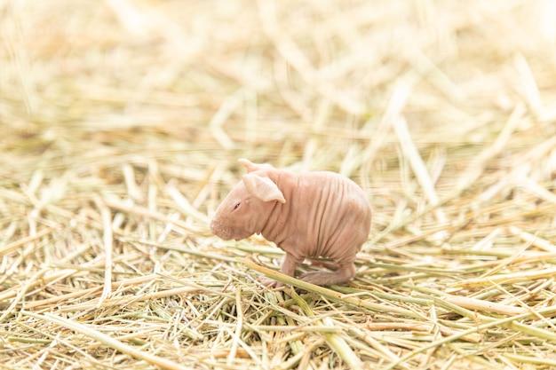 Bébé cochon d'inde glabre seul