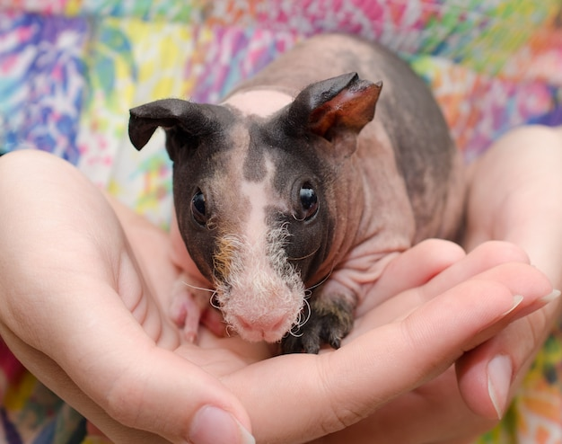 Bébé cochon d'inde maigre dans les mains d'un enfant