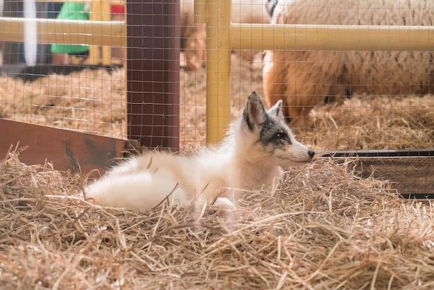 Bébé dans le renard de la ferme