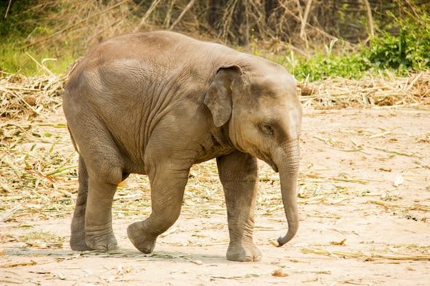 Bébé éléphant asiatique marchant isolé dans la nature