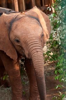 Bébé éléphant au kenya en afrique