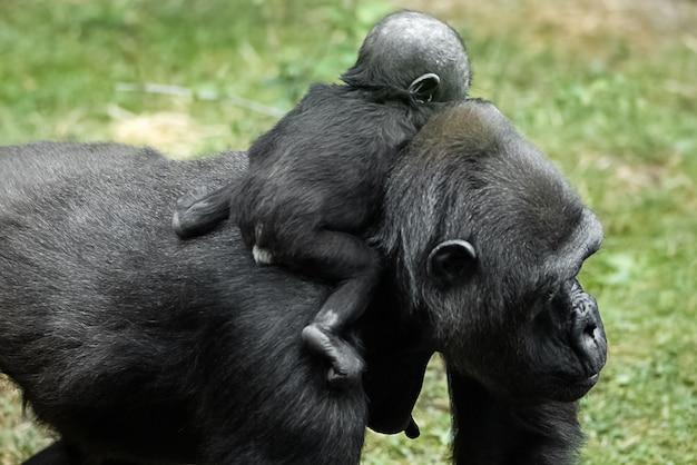 Un bébé gorille est assis sur le dos de sa maman